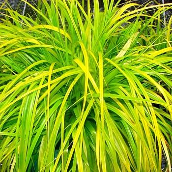 Carex - oshimensis - Everillo - Cov