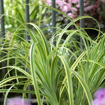 Carex - trifida - Rekohu Sunrise - Cov