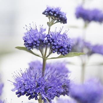 Caryopteris  - x clandonensis - Blue Empire - Elst33