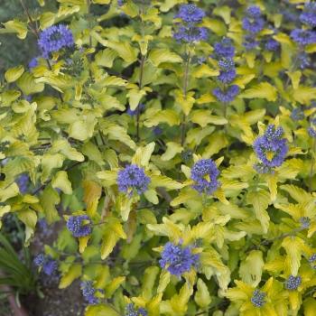 Caryopteris - x clandonensis - Hint of Gold - Lisaura
