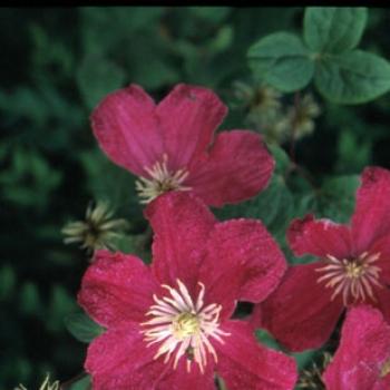 Clematis - hybride - Barbara Harrington - Cov