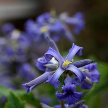 Clematis - heracleifolia - New Love - Cov