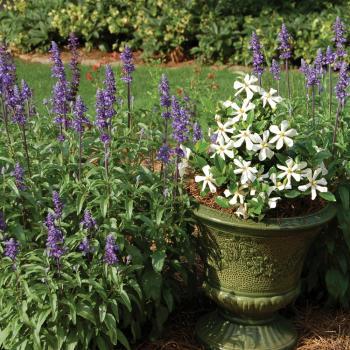 Gardenia - jasminoides - Pinwheel - cov