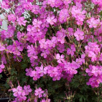 Geranium - x cantabrigiense - Westray - Bremwest