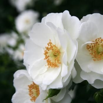 Rosa - hybride - Innocencia® - Korstarnow