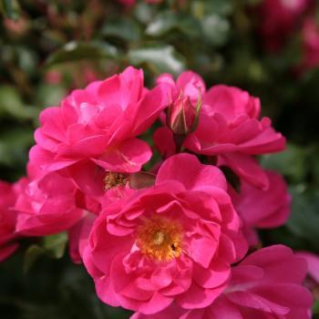 Rosa - hybride - Neon® - Kortadura