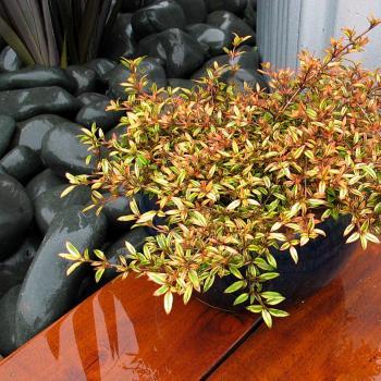 Coprosma - antiqua - Autumn Haze - Cov
