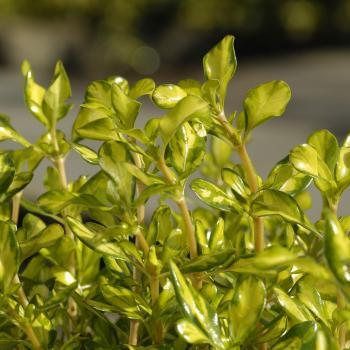 Coprosma - repens X - Lemon & Lime - Cov