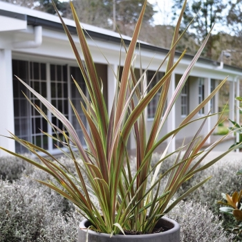 Cordyline Electric Star