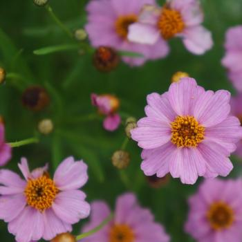 Coreopsis - rosea - Pink - URITW02