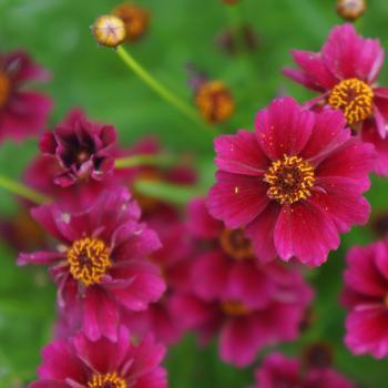 Coreopsis - rosea - Purple - URITW01