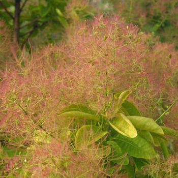 Cotinus - coggygria - Golden spirit - Ancot