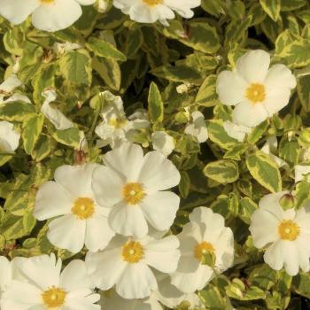 Cistus - x corbariensis - Little Miss Sunshine - Dunnecis