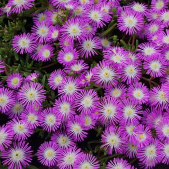 Delosperma - cooperi - Violet - WOWDRW5