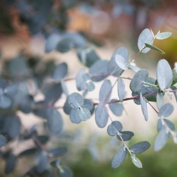 Eucalyptus - gunnii - Silverana - Lon40