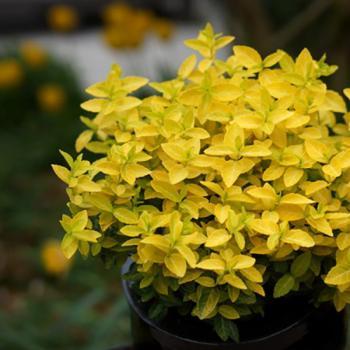 Euonymus - fortunei - Goldy - Waldbolwyi