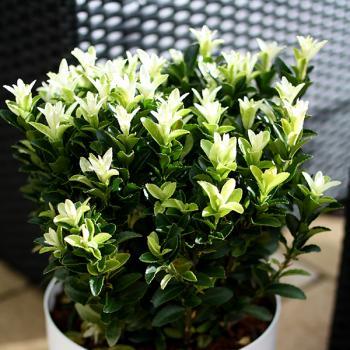 Euonymus Paloma Blanca