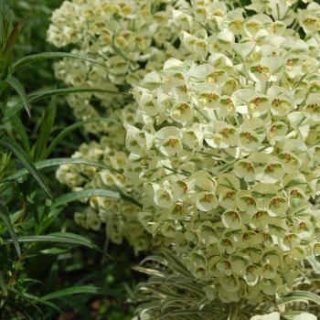 Euphorbia  - characias - Ascot Moonbeam - Cov