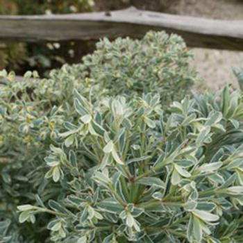 Euphorbia - characias - Glacier Blue - cov