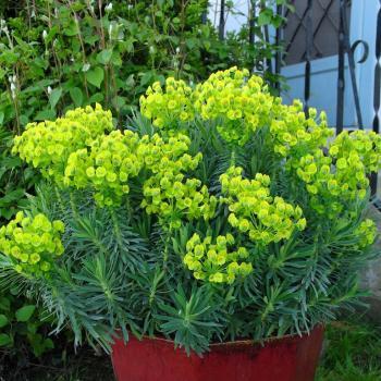 Euphorbia - characias - Shorty - cov