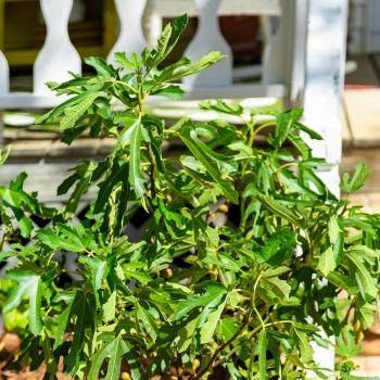 Ficus - carica - Little Miss Figgy - LMF01