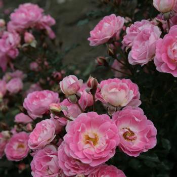 Rosa - hybride - Flirt 2011® - Korchakon