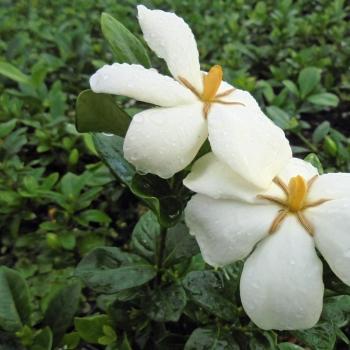 Gardenia Sweetheart