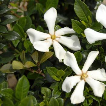 Gardenia Pinwheel