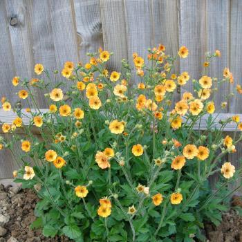 Geum - hybride - Totally Tangerine - cov