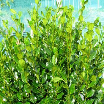 Griselinia - littoralis - Green Horizon - Whenuapai