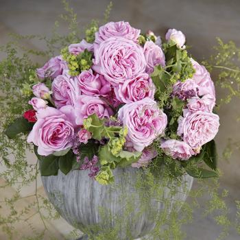 Rosa - hybride - Comtesse Marie Henriette® / Mme de Maintenon  - Kortekcho