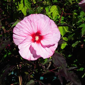 Hibiscus Pink Candy