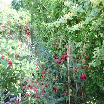 Fuchsia - hybride - Lady Boothby - Cov