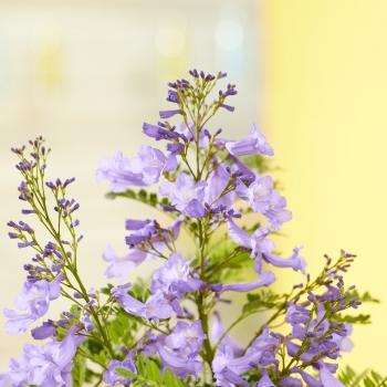 Jacaranda - mimosifolia - Bonsai Blue - Sakai01