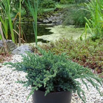 Juniperus - squamata - Little Joanna - cov