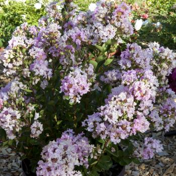 Lagerstroemia Babe