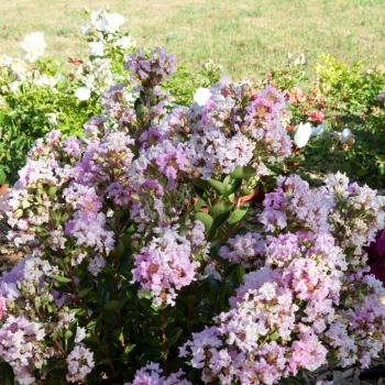 Lagerstroemia - indica - Babe - Milaperl