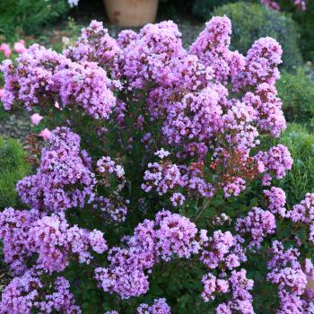 Lagerstroemia Eternal
