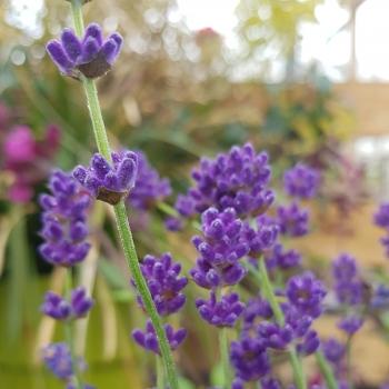 Lavandula - angustifolia - Bleu de Gien - LAVVAL