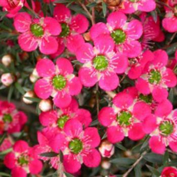 Leptospermum - hybride - Merinda - cov