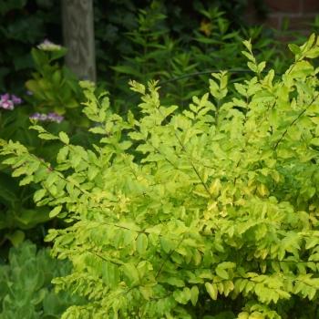 Ligustrum - sinensis - Sunshine - Cov