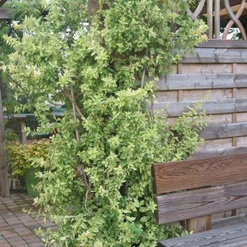 Lonicera - japonica - Mint Crisp - Cov