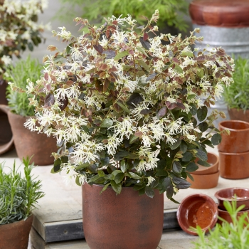 Loropetalum Ruby Snow