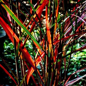Miscanthus - sinensis - Neil Lucas - Cov