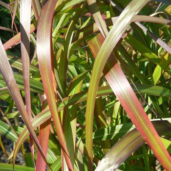 Miscanthus - hybride - Navajo - cov