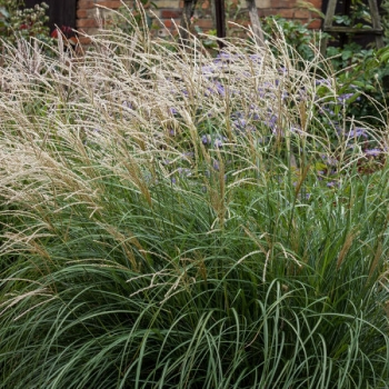 Miscanthus - sinensis - Cute One - cov