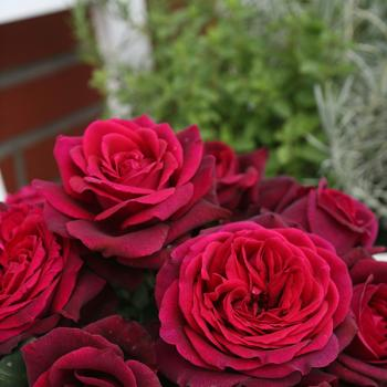 Rosa - hybride - Comtesse Diana® / Mme de Montespan - Kordiagraf