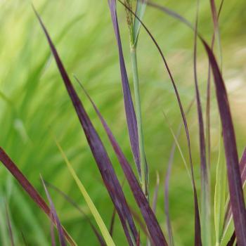 Panicum - virgatum - Purple Breeze - Joz276