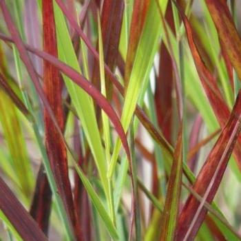 Panicum - virgatum - Sangria - cov