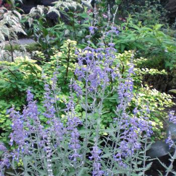 Perovskia - atriplicifolia - Lacey Blue - Lisslitt